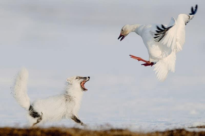 Cáo và Ngỗng Bắc Cực đánh nhau