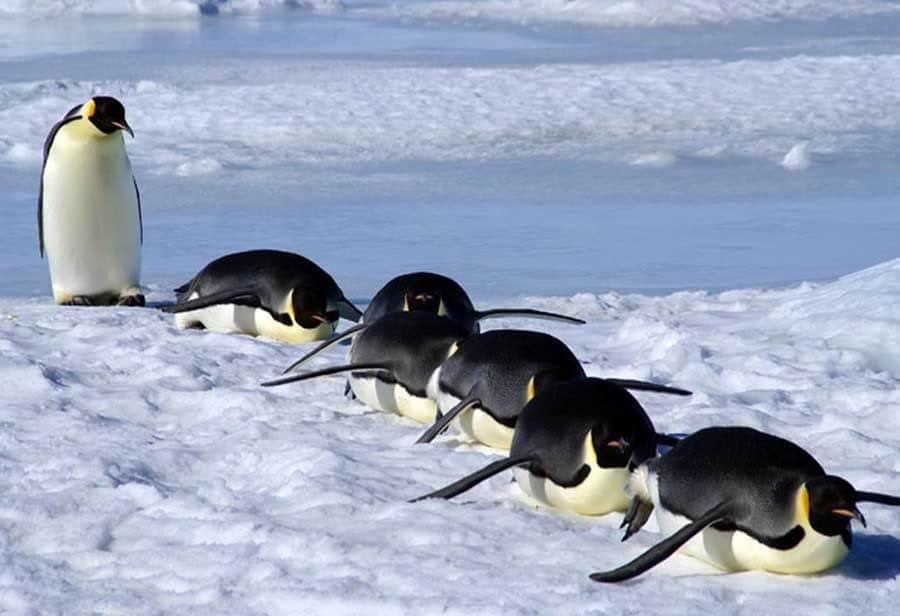 Bầy chim cánh cụt