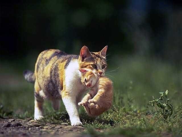 Mẹ mèo tha mèo con