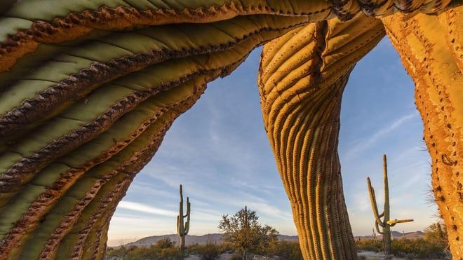 Những cây xương rồng saguaro trong Khu bảo tồn Quốc gia Sa mạc Sonoran có thể đã 200 năm tuổi. Chúng phát triển từ từ, gốc rễ lan rộng ra khắp nơi.