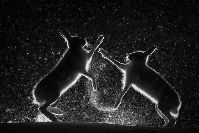 Những con thỏ rừng đánh nhau suốt mùa giao phối trong rừng phong ở Vauldalen, Na Uy. Tác giả đã phải sử dụng đèn chiếu sáng ở một số nơi, nhưng phải cố làm sao cho bầy thỏ không giật mình.