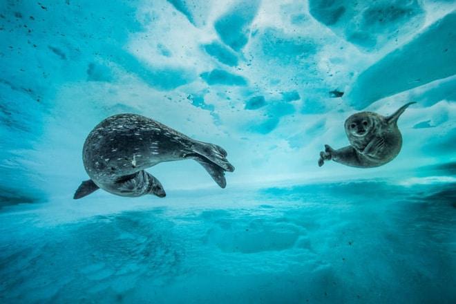 Hai mẹ con hải cẩu Weddell đang bơi lội trong dòng nước băng giá ở Nam Cực. Dù ở nơi lạnh giá như vậy nhưng những 2 mẹ con vẫn khá thoải mái