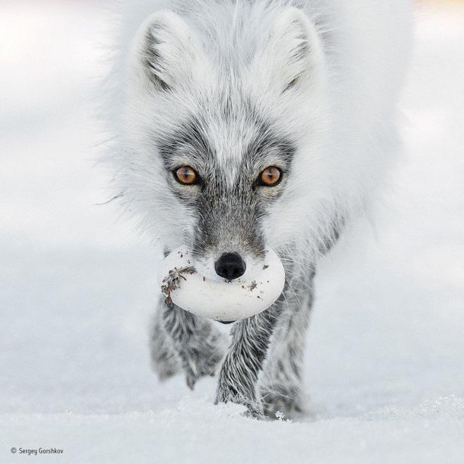Một chú cáo trắng ở Bắc Cực đang tha một trái trứng ngỗng tuyết trên Đảo Wrangel ở Viễn Đông Nga để giúp trứng nở