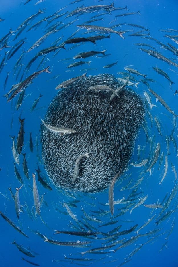 Đàn cá ngựa Đại Tây Dương tạo thành một quả cầu khổng lồ đường kính 5 mét và bao quanh nó là những loài cá săn mồi.