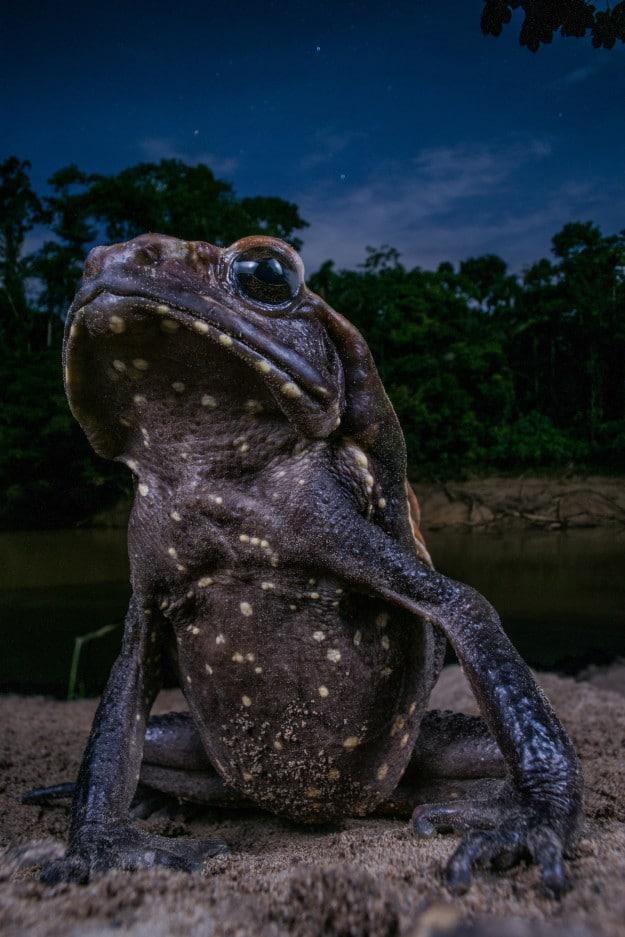 Chú cóc cao 15cm ngồi bên bờ sông Tiputini ở Vườn Quốc gia Yasuní của Ecuador. Tác gỉa đã phải theo đuôi nó cho đến khi nó chịu dừng lại cho tác giả chụp