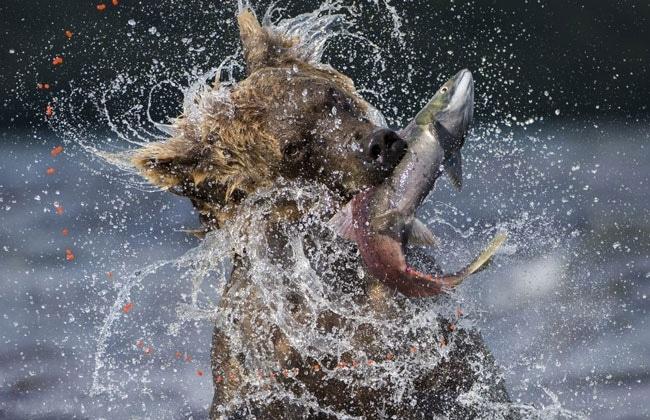 Gấu săn cá hồi