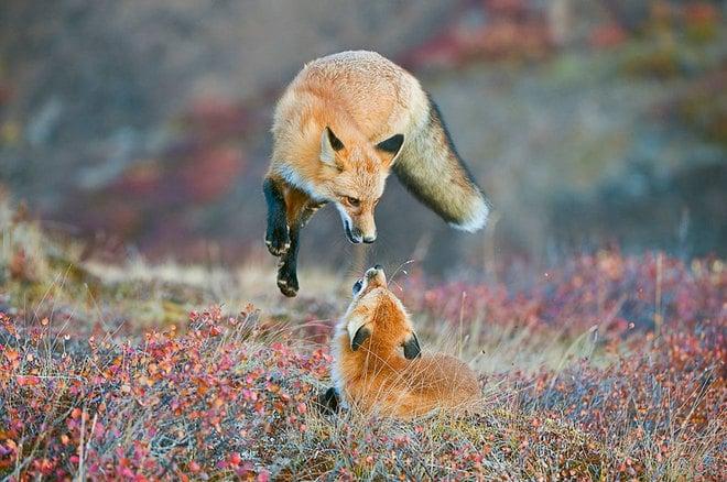Hai chú cáo chơi đùa với nhau
