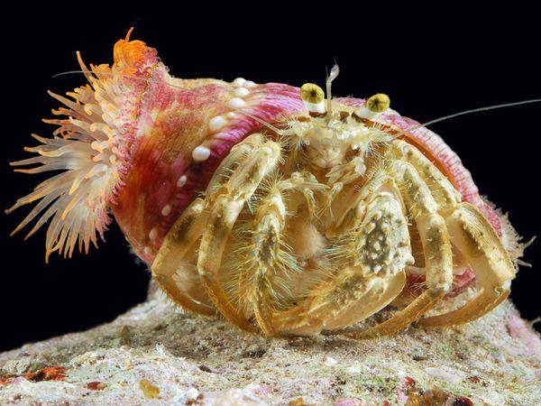 Hải quỳ và ốc mượn hồn