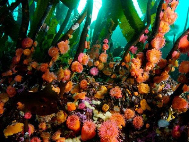 Hải quỳ và tảo bẹ
