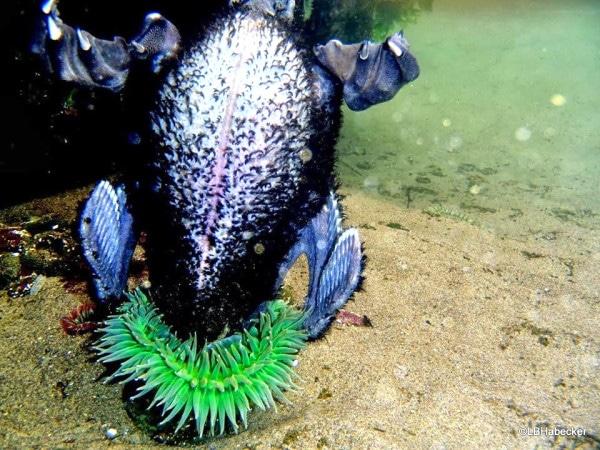 Hải quỳ có thể nuốt được con mồi lớn hơn nó nhiều lần. Trong ảnh là đầu chim biển bị hải quỳ bóp nghẹt, không cách nào vùng vẫy kháng cự.