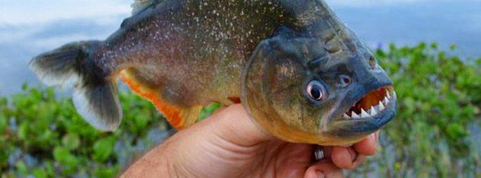 Cá Piranha hay còn gọi là cá răng đao