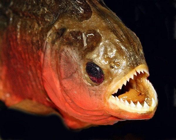 Hay còn cái tên khác là cá răng đao