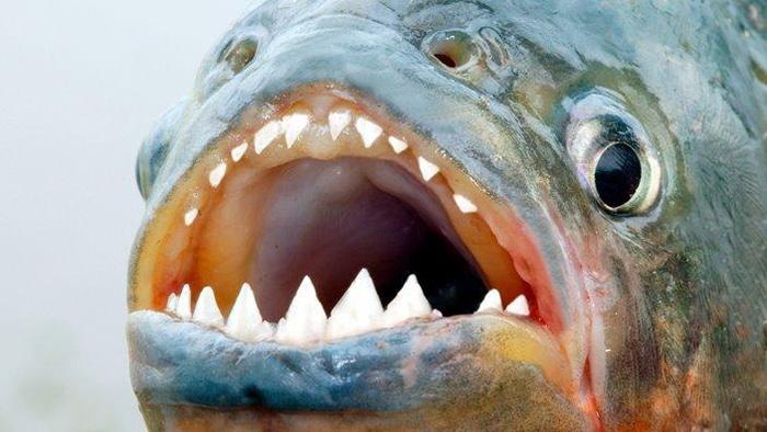 Loài cá có những chiếc răng nhọn